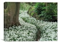 Wild Garlic (Ransom) secret pathway Cumbria, Lakes, Canvas Print