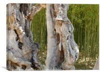 Olive Tree Trunk, Canvas Print