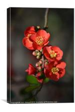 Red Flowering Quince, Canvas Print