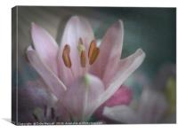 Faded Lily, Canvas Print