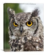 African Spotted Eagle Owl, Canvas Print