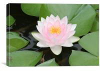Water Lily Focus, Canvas Print