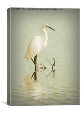 Little Egret, Canvas Print