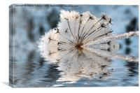 Frosted Cow Parsley, Canvas Print