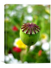 Poppy Head, Canvas Print