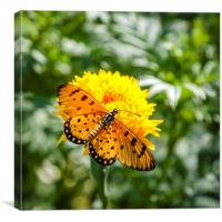Butterfly on yellow flower, Canvas Print