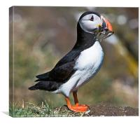 Isle of May Puffin, Canvas Print