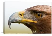 Jack the male Golden Eagle, Canvas Print