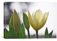 white tulips, Canvas Print