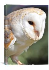 Gorgeous barn owl, Canvas Print
