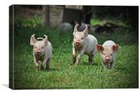 Three little pigs, Canvas Print