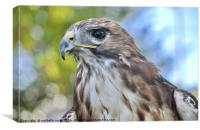 Red Hawk stare, Canvas Print