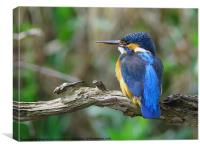 Female Kingfisher on perch, Canvas Print