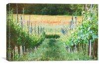Vineyard in Umbria II, Canvas Print