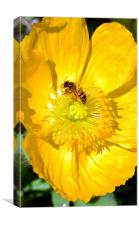 Wasp in a yellow poppy, Canvas Print