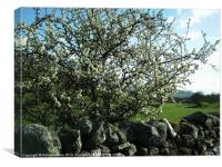 Hawthorn in the Dales, Canvas Print