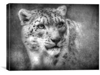 Snow Leopard, Canvas Print