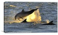Early Morning Dolphins, Canvas Print