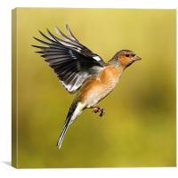 Chaffinch in flight, Canvas Print