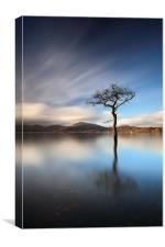 Milarrochy Bay Tree, Canvas Print