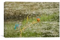 Male kingfisher baring fish , Canvas Print