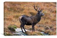 Red Deer Stag in Autumn, Canvas Print