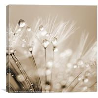 Dandelion Seed with Water Droplets in Sepia, Canvas Print