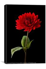 Red Dahlia Flower against Black Background, Canvas Print