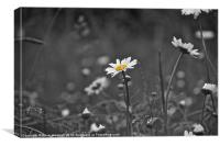 Black and white daisy, Canvas Print
