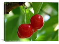 Cherry Red, Canvas Print