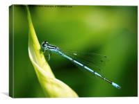 blue eyed damselfly, Canvas Print