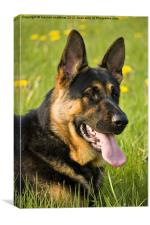 beautiful german shepherd dog, Canvas Print