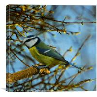 Colourful Blue Tit, Canvas Print