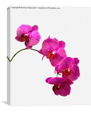 Oodles of Purple Orchids, Canvas Print