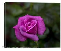 Wet Rose, Canvas Print
