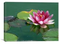 Pink Water Lily, Canvas Print
