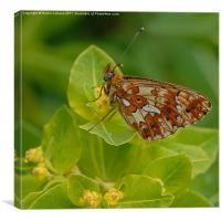 PEARL BORDERED FRITILLARY, Canvas Print