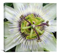 PASSION FLOWER, Canvas Print