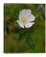 WILD ROSE, Canvas Print