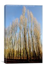 STANBOROUGH POPLARS, Canvas Print