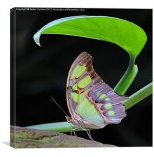 MALACHITE BUTTERFLY, Canvas Print