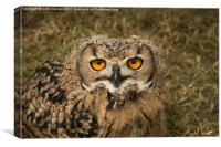 Young Owl, Canvas Print
