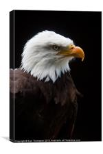Majestic American Bald Eagle, Canvas Print