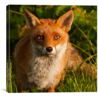 British Red Fox, Canvas Print