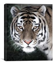 The Eyes Of The Tiger, Canvas Print