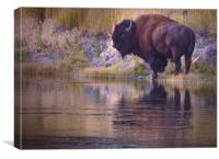 Bison Reflection, Canvas Print