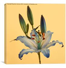 Photograph of a beautiful Blue Lily, Canvas Print