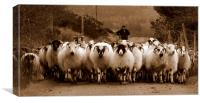 Irish sheep, Canvas Print