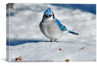 Bluejay in Snow, Canvas Print