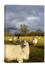 Who Are Ewe Looking At?, Canvas Print